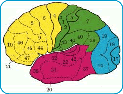 Image- map of brain showing all areas by color